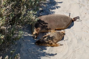 A cow and her pup resting in the shade at Seal Bay.