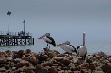 Pelicans at the Emu Bay jetty.