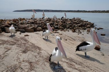 Pelicans are familiar and friendly with visitors.