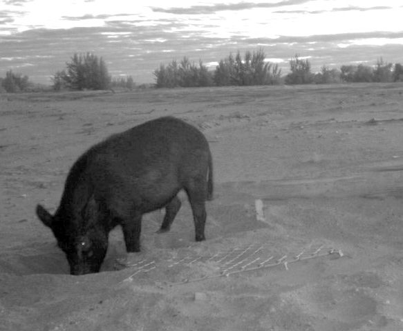 A pig caught on trail camera raiding a turtle nest after sunset. Photo Pormpuraaw Land and Sea Management